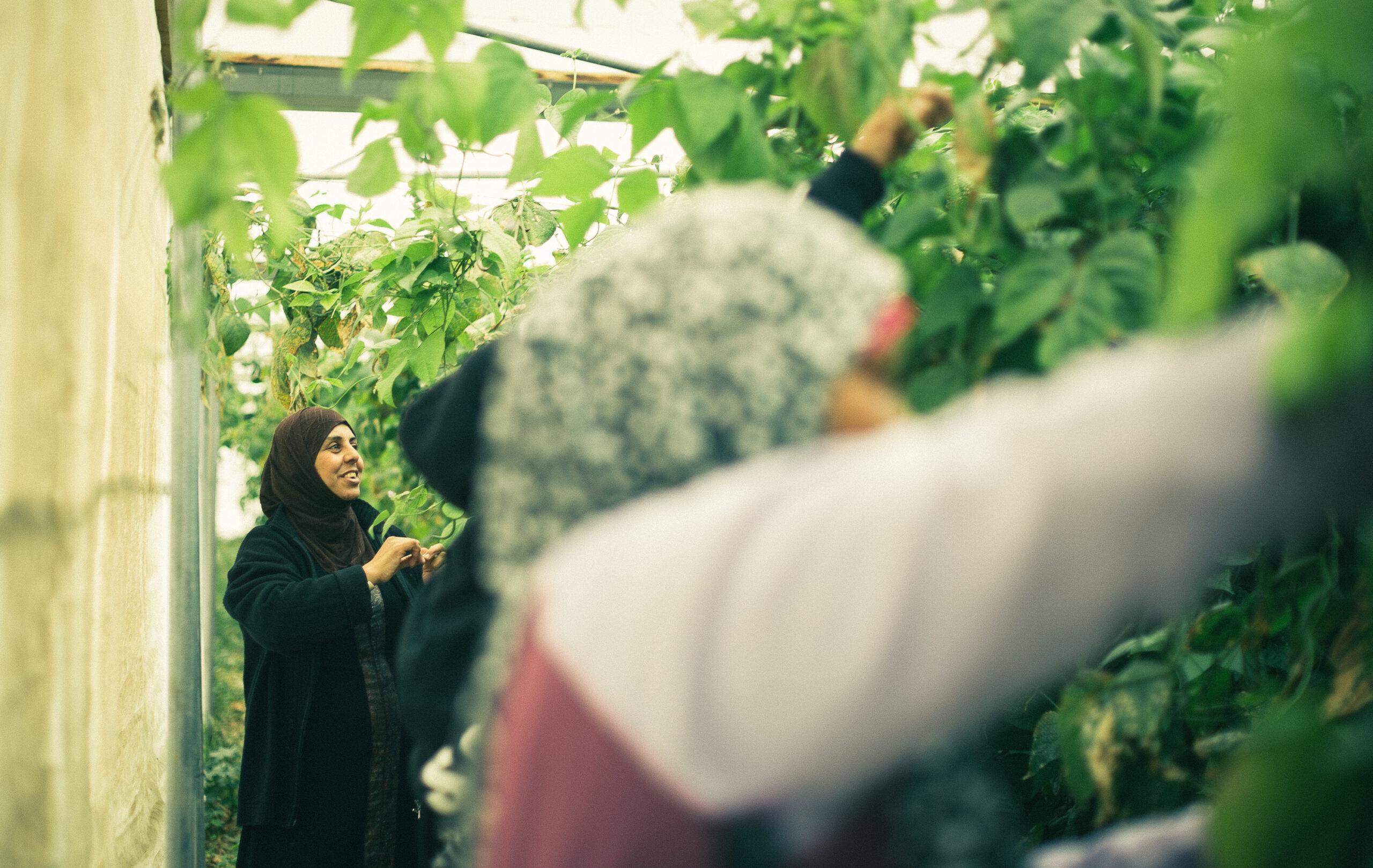 Rabia Kassab trabajando en su invernadero en Al Jiftlik (1)